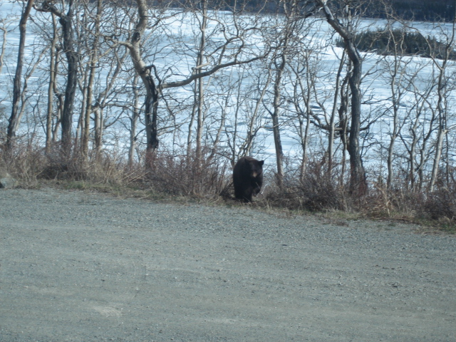 The Bear I Saw in Alaska!